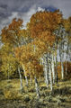 ronald, saunders, digital, aspen, grove, teton, landscape, trees, photography, fall, color, september, gold, yellow, lea