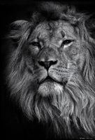animal, lion, ron, ronald, saunders, ,landscape, fine art, keeble, shuchat, exhibition