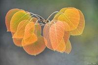 ronald, saunders, digital, photography, image, ronald, virginia, lakes, aspen, leaves, autumn, foliage
