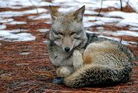 yosemite, animal, coyote, ron, saunders, ronald, ronald j saunders, landscape, photography,