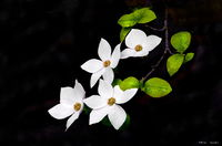 dogwood, yosemite, flower, leaf, plant, tree