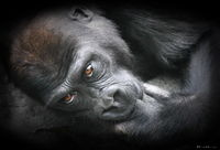gorilla, animal, ronald, saunders, ron, zoo, color, CPA, CPA 2014, best
