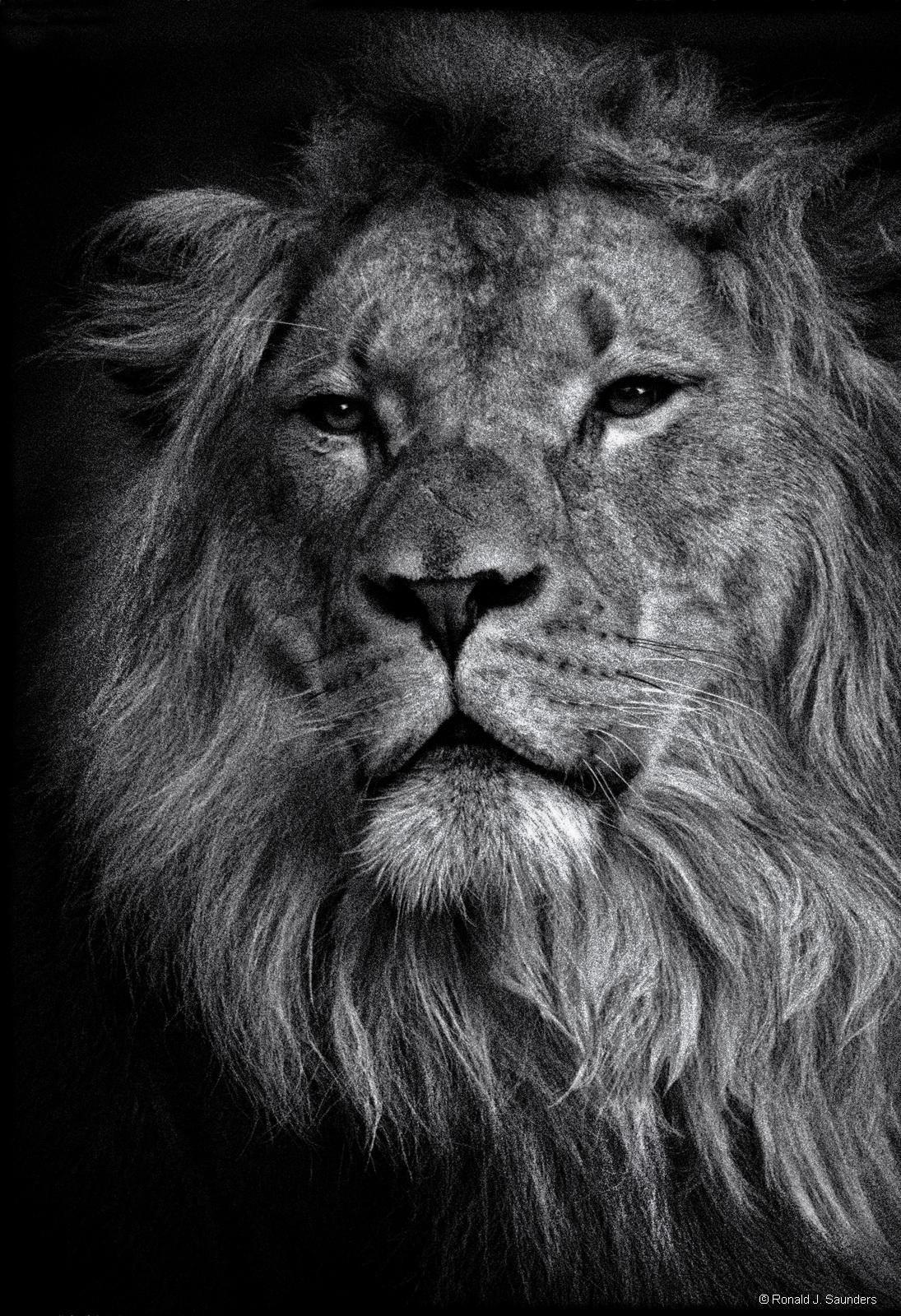 animal, lion, ron, ronald, saunders, ,landscape, fine art, keeble, shuchat, exhibition, photo