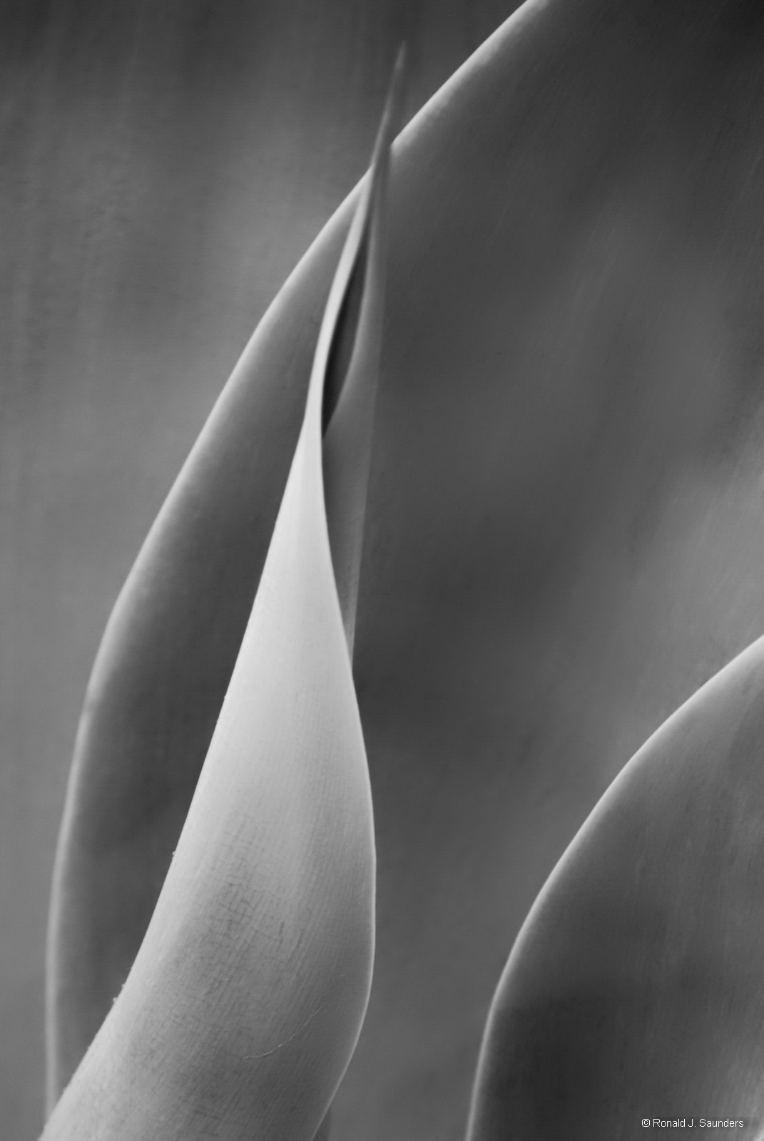 ronald, saunders, digital, photography, image, ronald, foliage, yucca, plant, black, white, soft, peaceful, photo