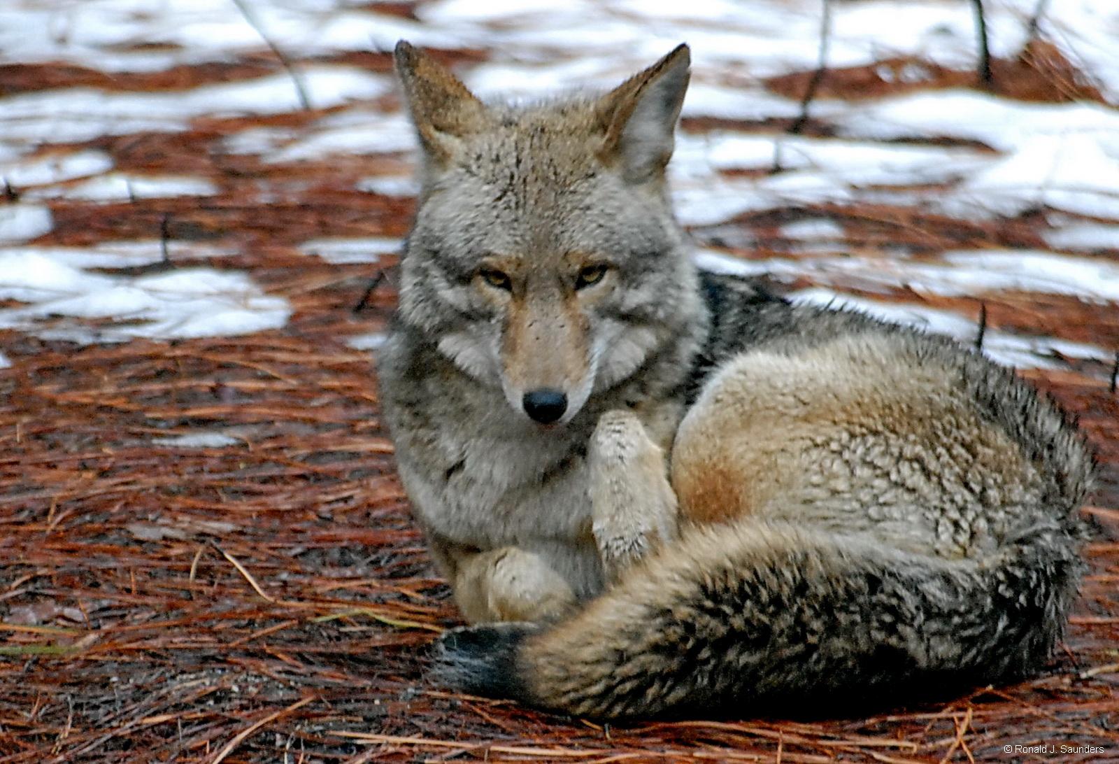 yosemite, animal, coyote, ron, saunders, ronald, ronald j saunders, landscape, photography, , photo