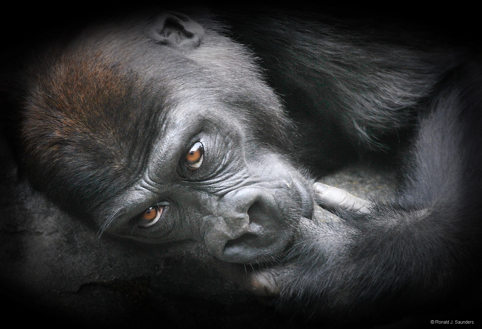 This young gorilla joined an adult for a nap on a large group of rocks, about one o'clock in the afternoon. Yes, the...